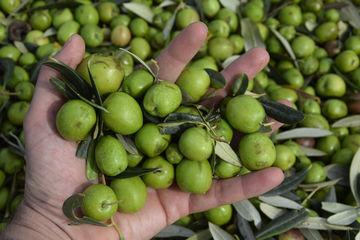 La prima raccolta di Olive a Casale Abate non si dimentica più